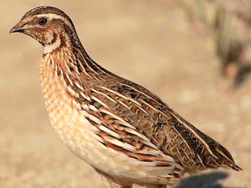 UNDERSTANDING THE HEALTH AND BUSINESS BENEFITS OF QUAIL'S